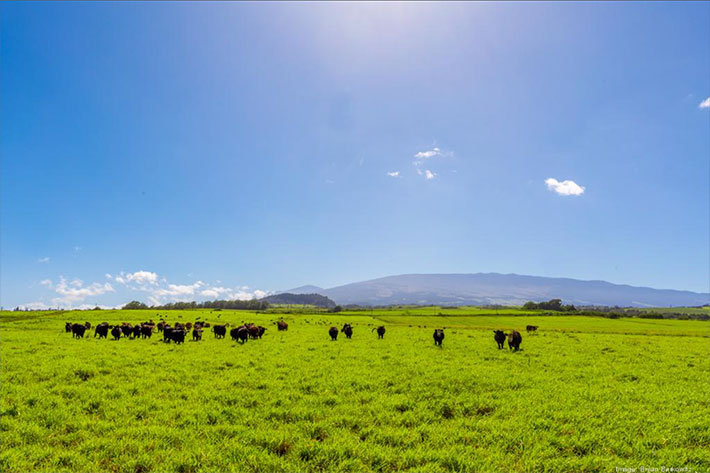 Mahi Pono becomes majority partner of Maui Cattle Co., acquires slaughterhouse
